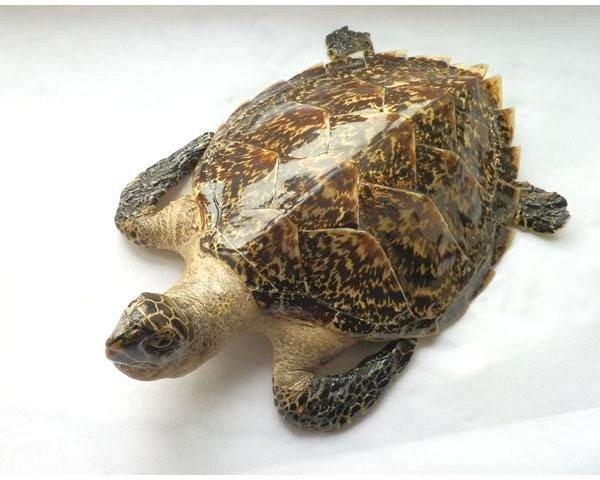 玳瑁龟多少钱一只